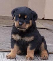 A champion bloodline, 3 months old, ROTTWEILER for sale (urgent)...