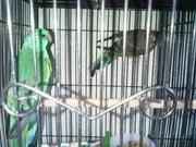 FRESH STOCKS OF  MULGA PARAKEET.,