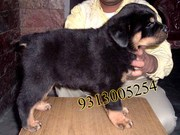 Gift a Rottweiler Pups on this Valentine day( FREE DELIVERY)...