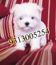 Maltese  puppies for sale.