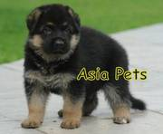 German Shepherd    Puppies  For Sale  ® 9911293906