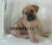 BULL MASTIFF PUPPIES FOR SALE AT 9830064171